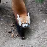 Red Panda tongue