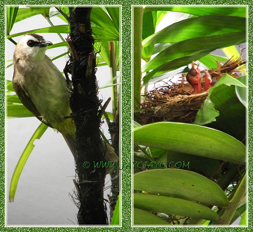 Pycnonotus goiavier (Yellow-vented Bulbuls) and its babies, January 5 2014