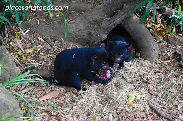 bonorong tasmanian devil