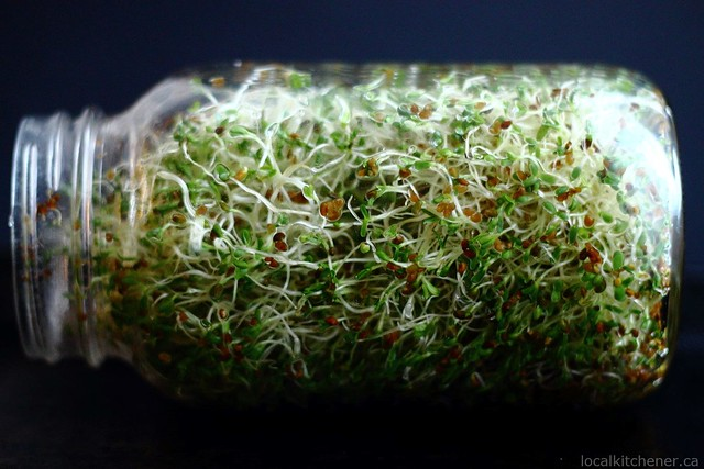 alfalfa sprouts day 6