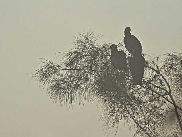 Black Vultures in fog 2-20140224