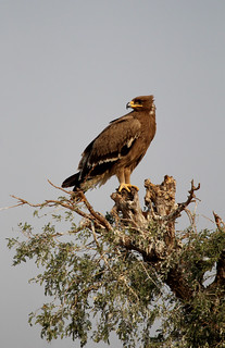 eagle (steppe or tawny)