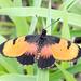 Broad Bordered Acraea, Acraea anemosa, Turk Mine, Zimbabwe by Jeremy Smith Photography