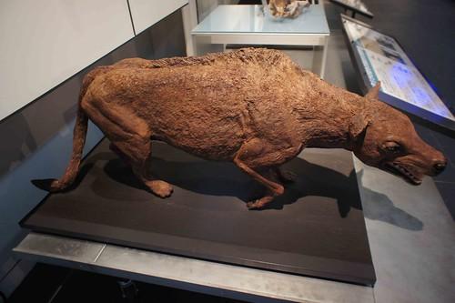 中爪獸復原標本模型。作者攝於日本北海道足寄動物化石博物館。