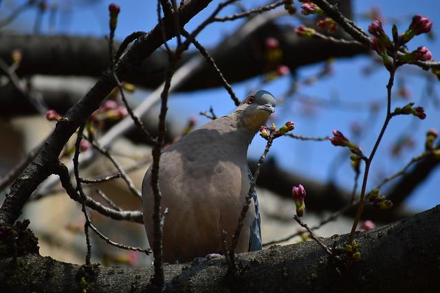 キジバト Oriental turtle dove