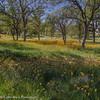 Oaks and Fiddleneck, Sierra Foothills by Robin Black Photography