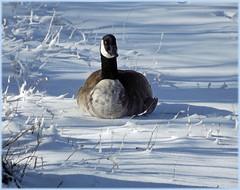 Goose and Snow