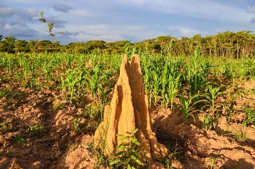 Termitière dans les champs de maïs