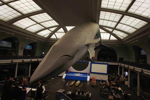 藍鯨(Balaenoptera musculus)標本模型,作者攝於紐約美國自然史博物館。