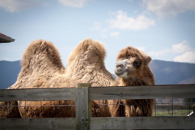 camelsseven