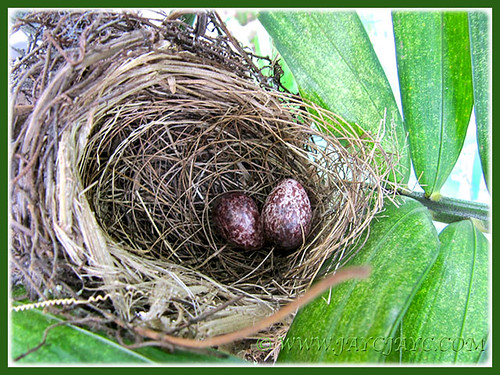 8-days-old eggs of Pycnonotus goiavier (Yellow-vented Bulbul), April 3 2014