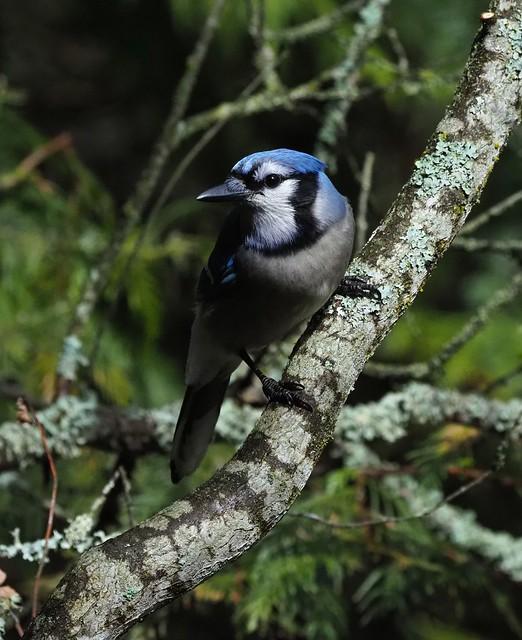 Jungle Bird.