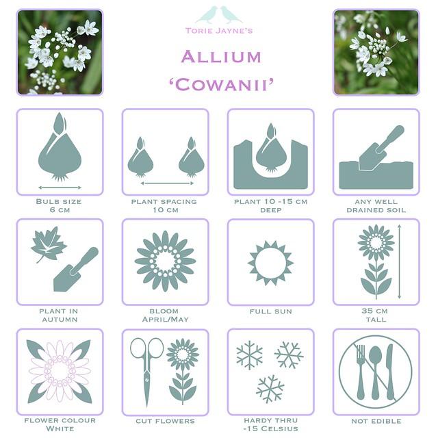 Allium 'Cowanii' details