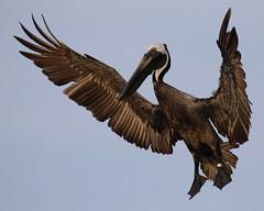Brown Pelican Landing, Banded - Maybe DG67