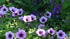 Pretty Purple Petunias byt the Cottage Garden