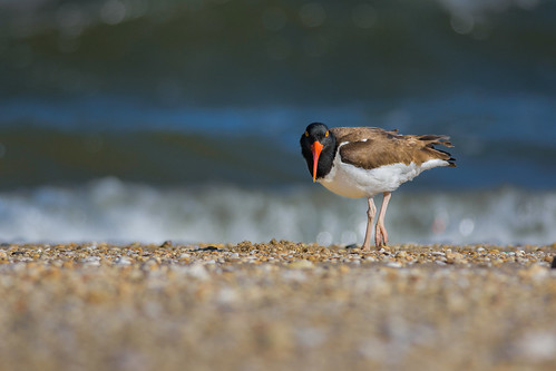 shorebird beach ocean oystercatcher americanoystercatcher bird wildlife water sandyhook nature highlands newjersey unitedstates us forthancock
