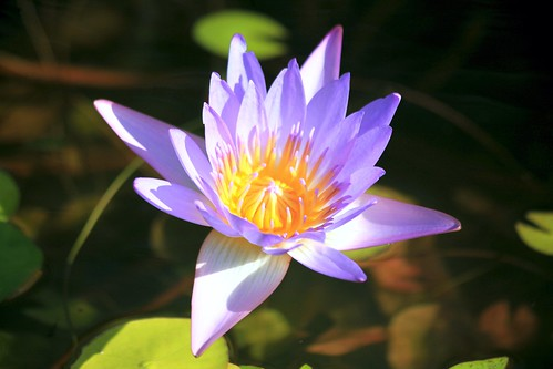 water lily pink flower botanical grenada johndalkin heavensgatejohn thecalabash yellow blue sunshine green
