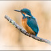 A MALE KINGFISHER by malcolm thorngate