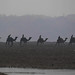 Camel Train - Chambal River (Neil Pont)