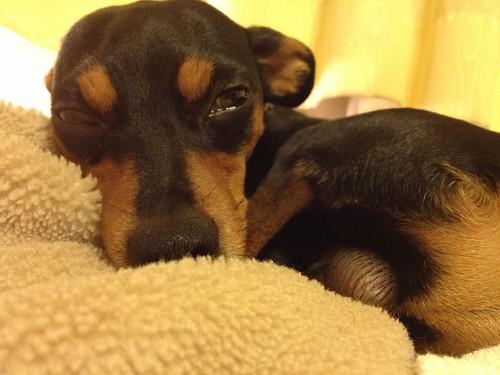 寝ちゃいそう。#黒犬