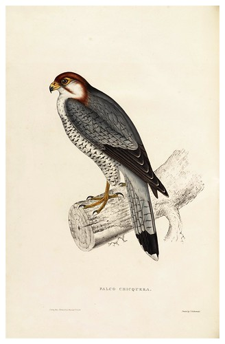 004-Falco Chicquera-A Century of Birds from the Himalaya Mountains-John Gould y Wm. Hart-1875-1888-Science Naturalis
