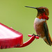 Rufous Hummingbird (Selasphorus rufus) by Radianman 크래그