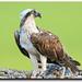 Osprey by BN Singh