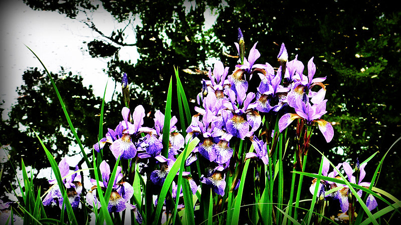 Pondside Blooms