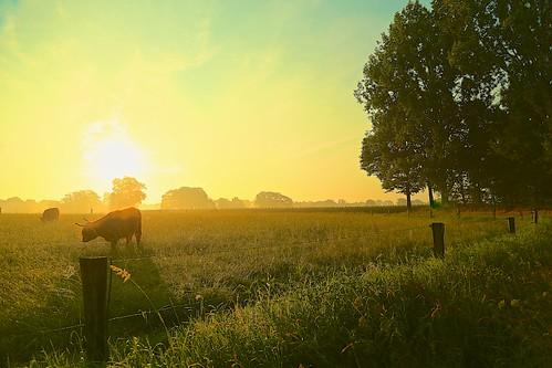 jul13 zenderen twente netherlands highlandcattle schotsehooglander mist sunrise