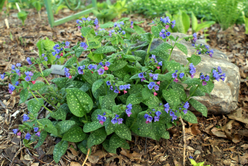 Pulmonaria saccarata 'Mrs. Moon' (09)-002