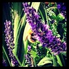Honeyhill Farm bees coming down to feed on our lavender