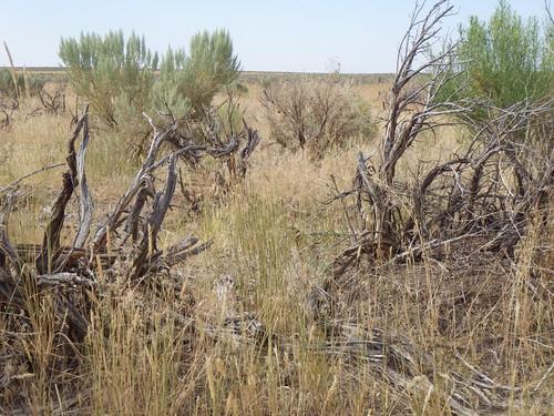 grass habit idaho annual chamisa habitat poaceae introduced bunchgrass ericamerianauseosa rogerson cheatgrass chrysothamnusnauseosus bromustectorum coolseason artemisiatridentatawyomingensis