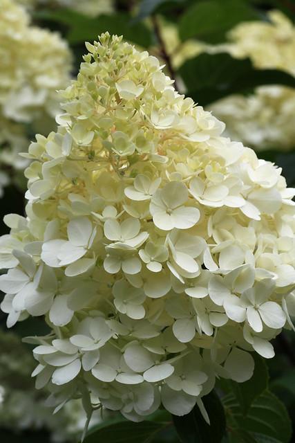 hydrangea paniculata vanille fraise 39 renhy 39 flickr. Black Bedroom Furniture Sets. Home Design Ideas