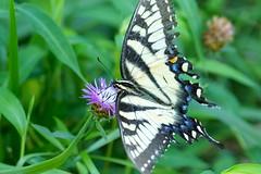 Getting Swallowtail Nectar