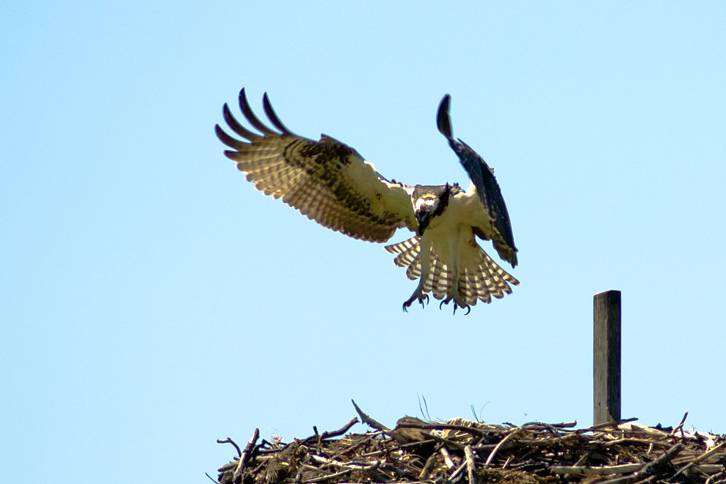 Fish hawk osprey flickr photo sharing for Fish hawk bird