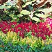 Small photo of Red & Yellow Celosia