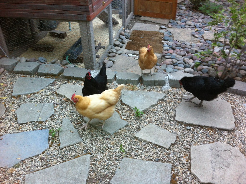 coop for sale 90065 backyard chickens