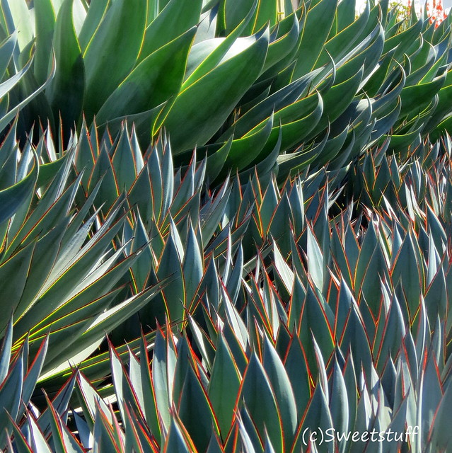 Agave blue glow and Agave blue wave backlit