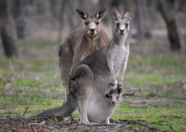Eastern grey kangaroo family portrait flickr photo sharing - Image kangourou ...