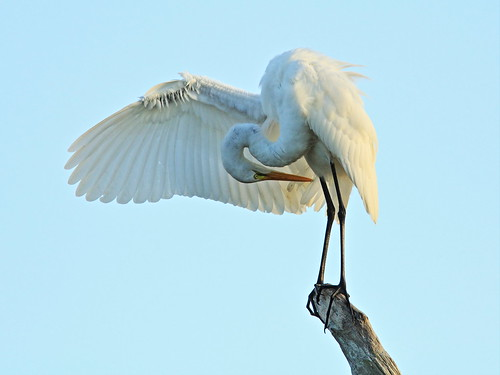 Great Egret preening 20131210