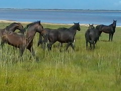 Wild mares at the Bot River Estuary form at protective screen