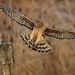 Northern harrier, female by Through The Big Lens