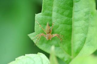 Spider : Hamadruas sp.