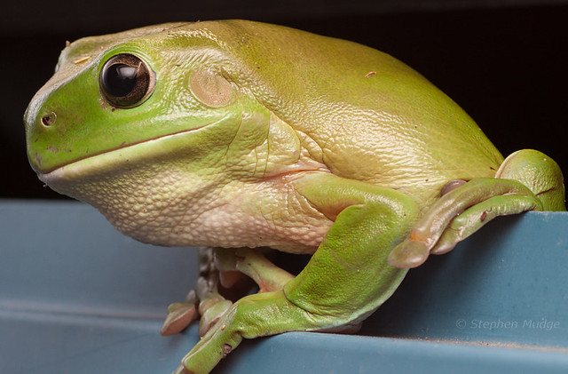 Green Tree Frog #1