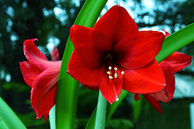 Source: Flickr - Amaryllis red Lion