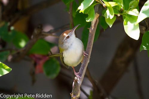 birds commontailorbird orthotomussutorius indianbirds tailorbird