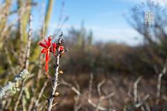 Chunari (Fouquieria macdougalii ) Flower