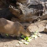 capybara, San Diego Zoo