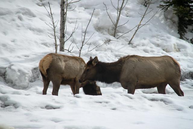 Hello Elk