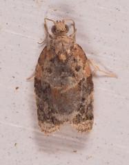 Red-banded Leafroller Moth
